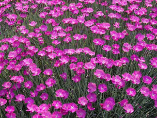 Гвоздика трав'янка 'Пурпурный закат', насіння