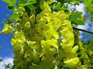 Золотий дощ альпійський, насіння