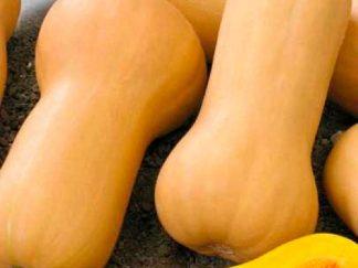 Гарбуз звичайний 'Новинка', насіння