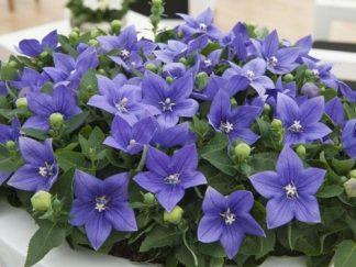 Платикодон великоквітковий 'Astra Blue', насіння