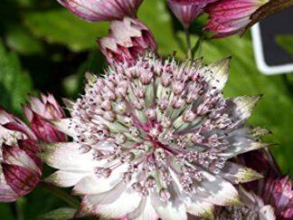 Астранция крупная 'Bo Ann', семена