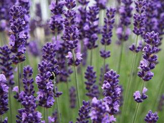 Лаванда узколистая 'Ellagance Purple'