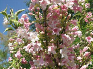 Вейгела квітуча 'Variegata'