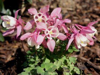 Водосбор веерообразный 'Cameo Pink and White», семена