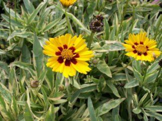 Кореопсис крупноцветковый 'Calipso'