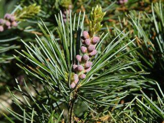 Сосна мелкоцветковая, семена