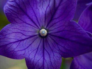 Платикодон крупноцветковый 'Apoyama Misato Purple', семена