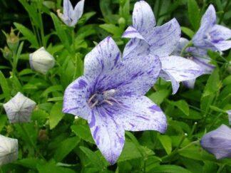Платикодон крупноцветковый 'Axminster Streaked', семена
