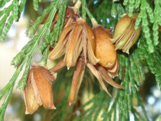 Калоцедрус низбегающий, семена