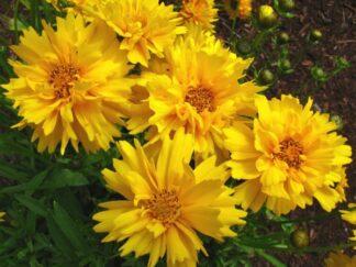 Кореопсис крупноцветковый 'Sunray'