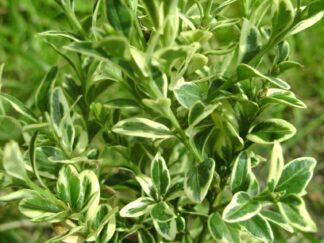 Самшит вечнозеленый 'Elegantissima'