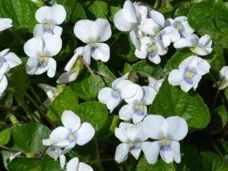 Фіалка сестринська 'Albiflora'