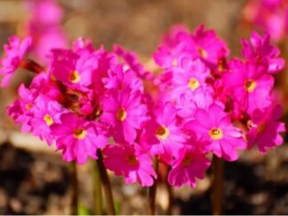 Первоцвет розовый 'Gigas'