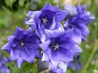 Платикодон крупноцветковый 'Hakone Blue', семена