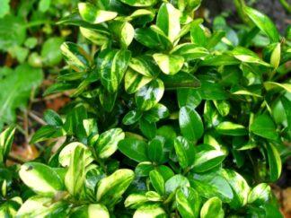 Самшит вечнозеленый 'Gold Tip'