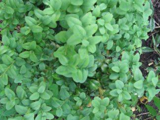 Самшит вечнозеленый 'Macrophylla'