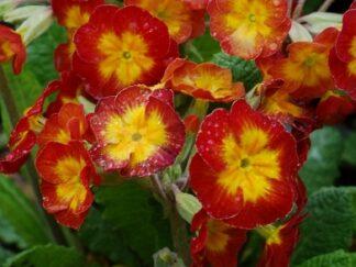 Первоцвет многоцветковый 'Bicolor Meteor'