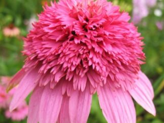 Ехінацея пурпурова 'Razzmatazz'