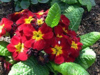Первоцвет многоцветковый »Supernova Red'