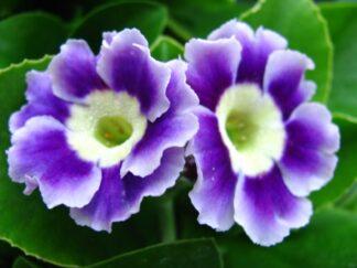 Первоцвет ушковый 'Blue Garden'