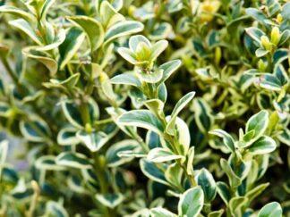 Самшит вечнозеленый 'Argenteovariegata'