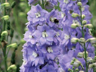 Дельфиниум 'Lilac Ladies', семена