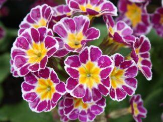 Первоцвет высокий 'Silver Lace Purple'
