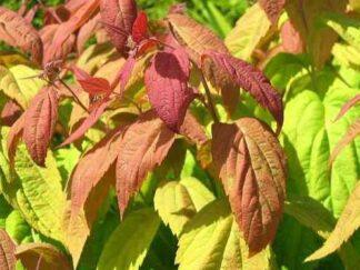 Спірея японська 'Macrophylla'