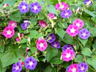 Ипомея пурпурная Mix, семена
