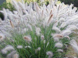 Пеннисетум лисохвостый 'Hameln', семена