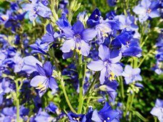 Синюха голубая, семена