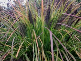 Пеннисетум лисохвостый 'Black Beauty'