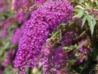 Буддлея Давида 'Nanho Purple'
