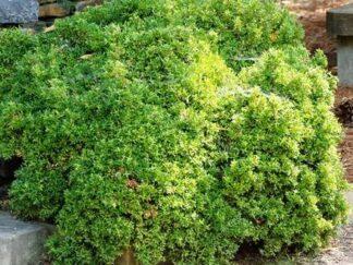 Самшит мелколистый 'Kingsville Dwarf', 3 летние саженцы до 15 см высотой