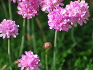 Армерия приморская 'Pink'