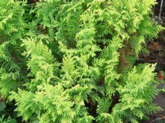 Кипарисовик орехоплодный 'Plumosa Aurea'
