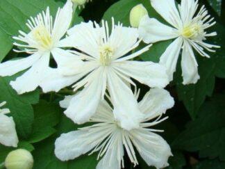 Клематис 'Summer Snow', семена