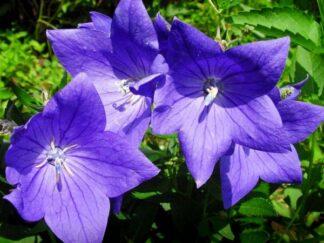 Платикодон крупноцветковый 'Hawaii Blue'