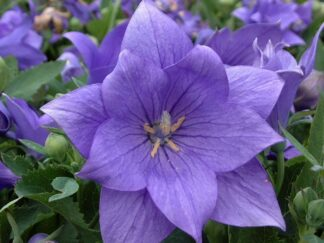 Платикодон крупноцветковый 'Astra Semi-Double Blue', семена
