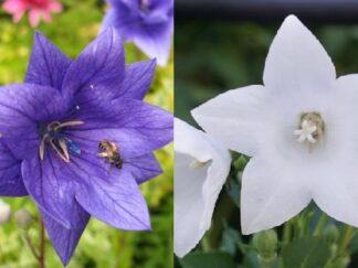 Платикодон крупноцветковый 'Hakone Blue', 'Album','Hawaii Blue' смесь сортов, семена