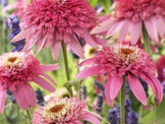 Эхинацея пурпурная 'Pink Double Delight'