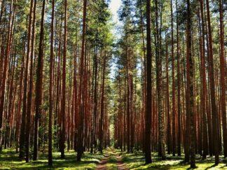 Сосновый листовой перегной