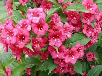 Вейгела квітуча 'Bristol Ruby'
