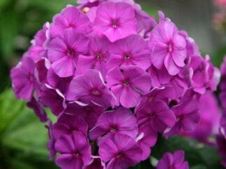 Флокс метельчатый 'Purple Flame'3/80