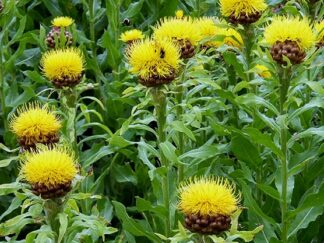 Василек крупноголовый, семена