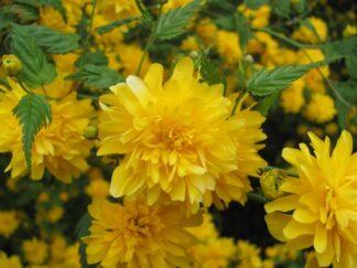Керрия японская 'Pleniflora'