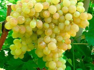 Виноград 'Кишмиш №342' (Угорський)