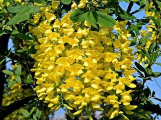 Бобовник анагировидный, Золотой дождь, семена