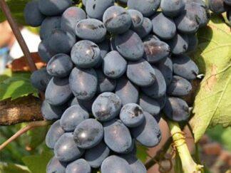 Виноград 'Надія АЗОС'