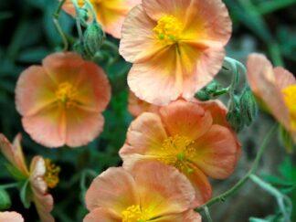 Солнцецвет гибридный 'Cheviot', семена